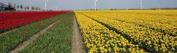 tulips-3350249_1920